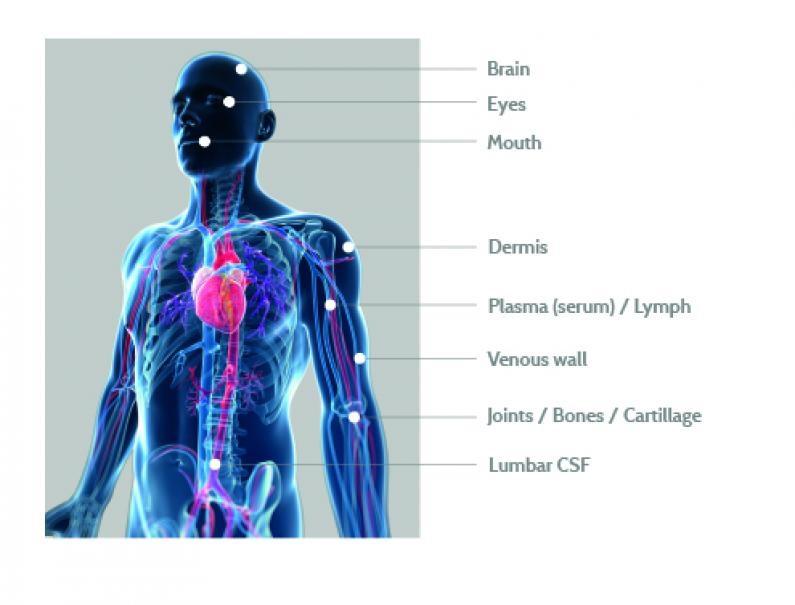 Локализация гиалуроновой кислоты