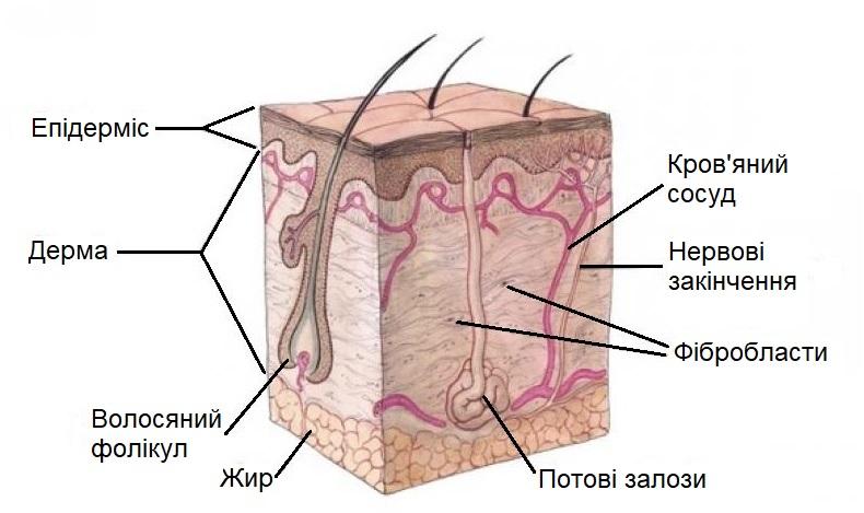 Шари шкіри